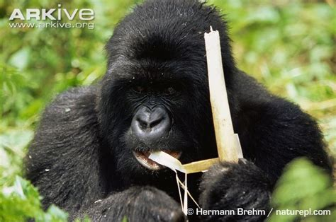 Tropical jungle, also live in forests, http://a-z-animals ...