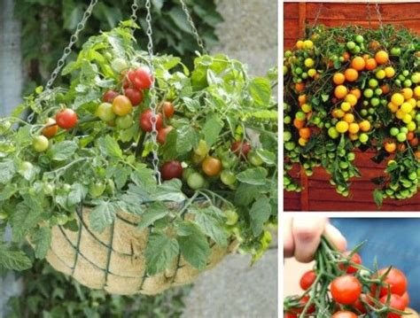 Diy Hanging Tomato Planter by 396 Best Images About Garden Ideas On Gardens Clay Pot And Bird Baths