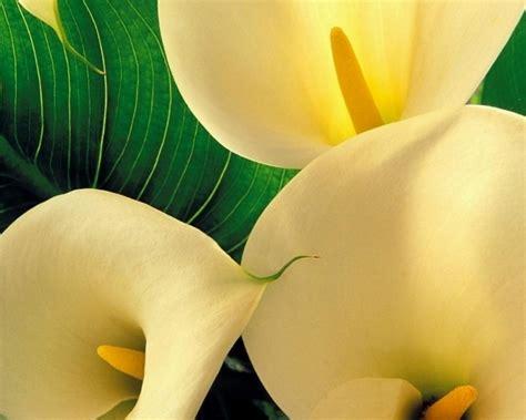 fiori significato significato calla significato fiori linguaggio dei