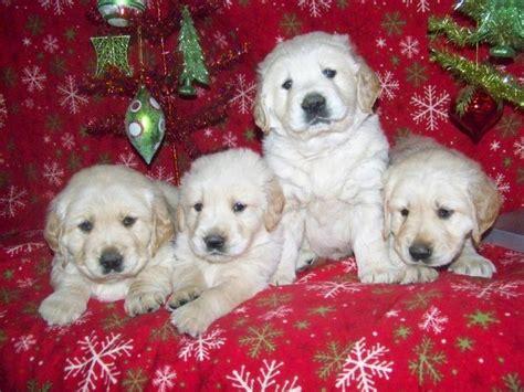 5 week golden retriever 25 best ideas about golden retriever on adorable puppies baby