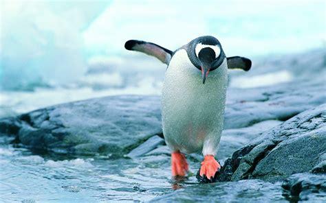 Top Pinhuin penguin hd wallpapers free penguin pictures