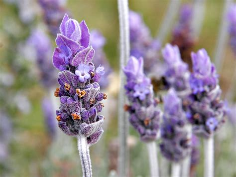 how do you grow lavender indoors