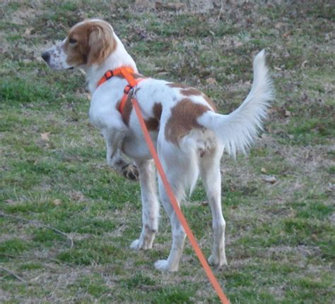 english setter dog for sale english setter bird dog for sale pensacola fishing forum