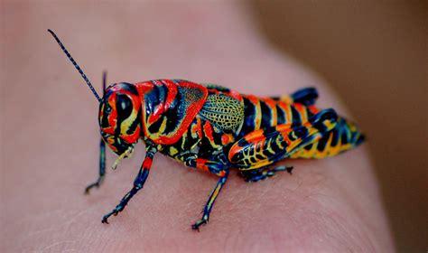 colorful grasshopper rainbow cricket bored panda