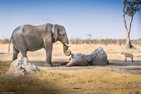 imagenes increibles e insolitas elephant mourns dead friend and guards body in moving