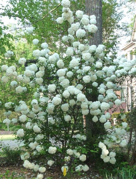 Snowball Viburnum In The Right Back Perennial Shrub Garden Flowering Shrubs