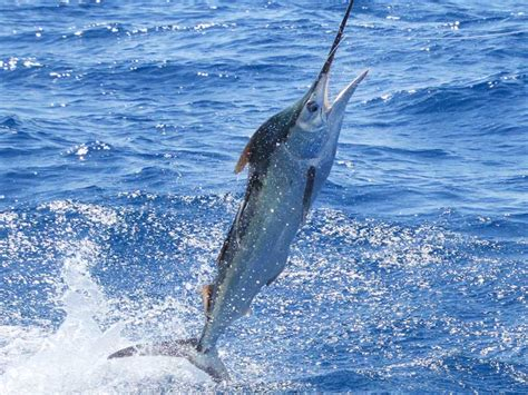 charter boat fishing townsville kekoa townsville marlin fishing trips