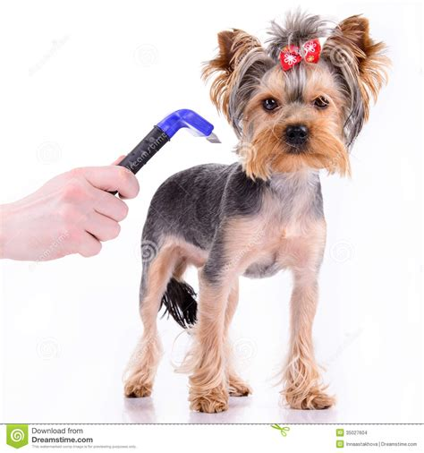 yorkie comb terrier comb stock photo image of pedigree 35027604