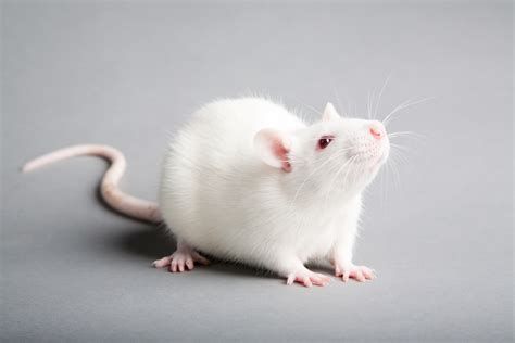 Mice Living In by White Mouse Animal