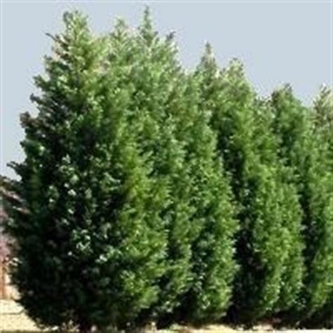 leyland cypress fast growing hardy privacy screen the