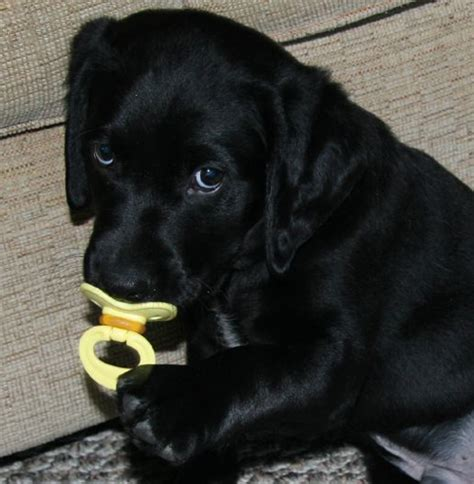 black lab puppies 301 moved permanently