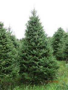 Balsam Tree - how to draw balsam fir