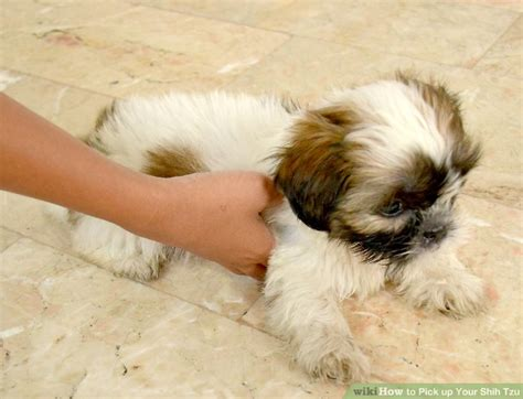 how to shih tzu how to up your shih tzu 7 steps with pictures wikihow