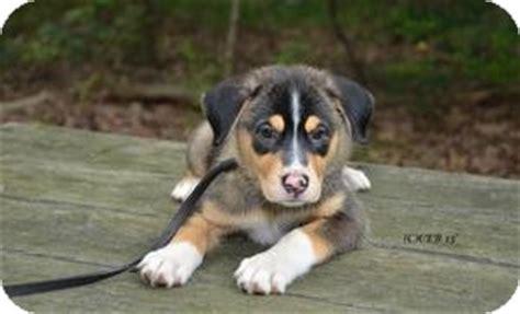 golden retriever husky mix for adoption baby trudy adopted puppy sweetheart marlton nj husky golden retriever mix