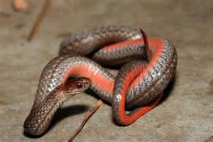 Garter Snake Belly Northern Bellied Snake Herpetological Resource And