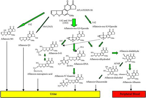 How To Detox Aflotoxins by Aflatoxins Metabolism Effects On Epigenetic Mechanisms