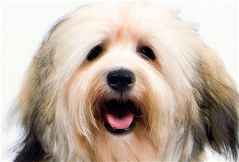 akc rules for giving a havanese a hair cut akc rules for giving a havanese a hair cut smallest dogs