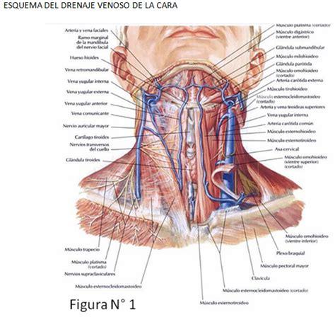 cuales son las cadenas ganglionares del cuello fameluz drenaje venoso del cuello