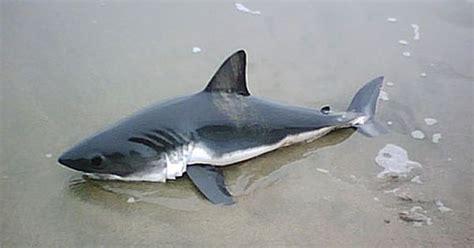 baby shark google baby great white shark size google search sea life