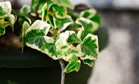 edera da vaso piante in vaso le piante facili da coltivare leitv