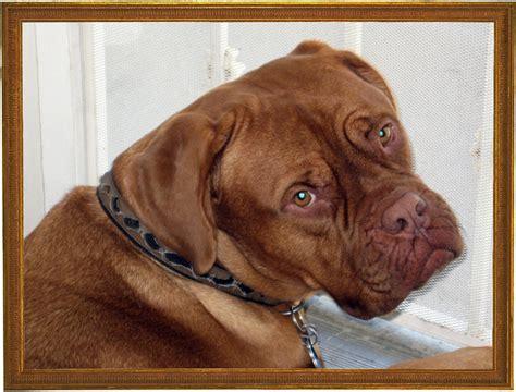 mastiff puppies indiana mastiff breeders indiana 4k wallpapers