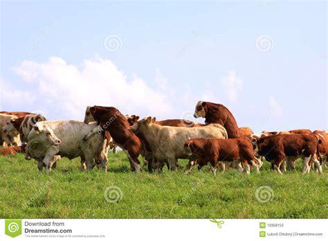 Small Ranch Plans by Vache Et Taureau De Accouplement Photos Stock Image