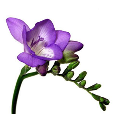 flowers for flower lovers freesia flowers pictures