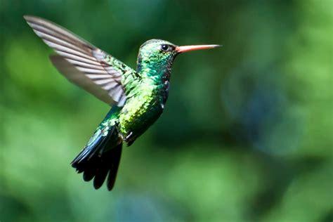 imagenes increibles de colibries diana teran fotos de aves colibr 237 es de colores