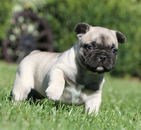 pug mixed with bulldog 25 best ideas about pug mixed breeds on pug mix beagle breeds and pics