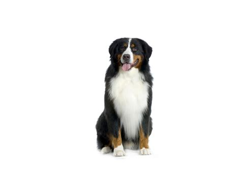 white bernese mountain happy bernese mountain on a white background wallpapers and images wallpapers