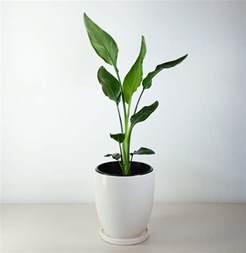 indoor plant pot bird of paradise in white pot strelitzia for indoors