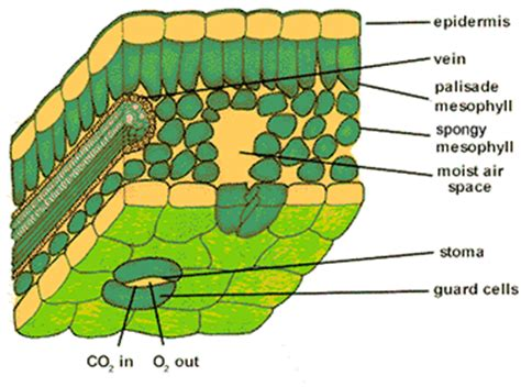 cross section of chloroplast diagram of the stomata and guard cells diagram free