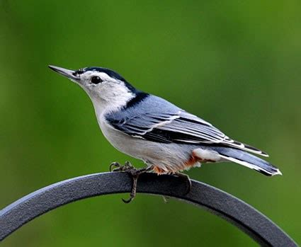 pygmy nuthatch identification all about birds cornell