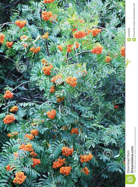 big ashberry tree royalty free stock image image 22566856