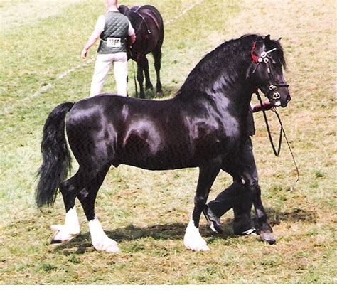 welsh section d characteristics welsh cob s