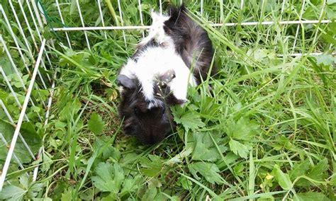 cavie alimentazione cavie alimentazione cavie erba