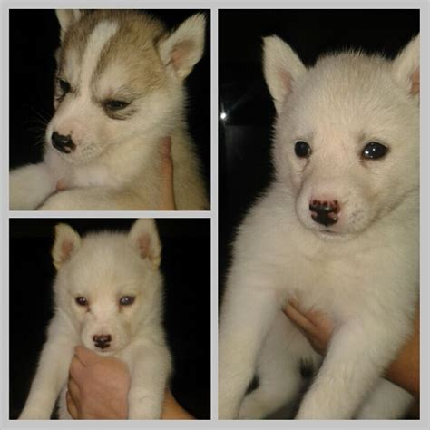 8 week husky puppy 8 week beautiful siberian husky puppies rotherham south pets4homes