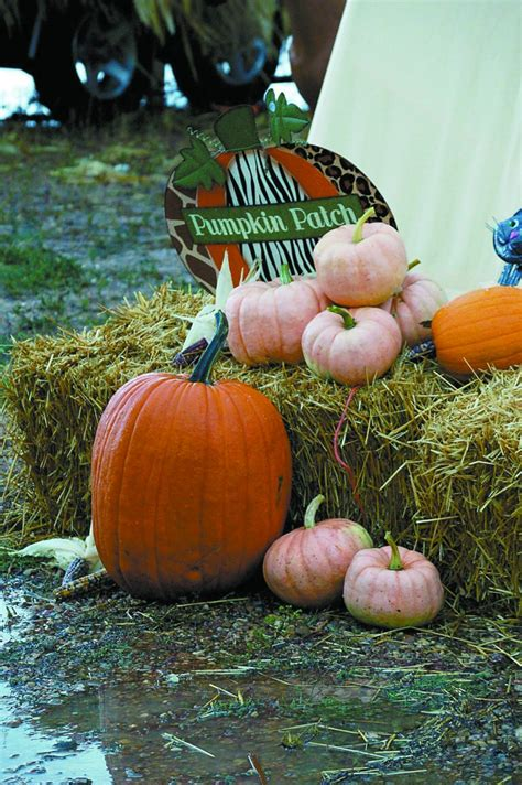 porcelain doll pumpkin recipe passionately pink tigges farm grows pastel pumpkins to