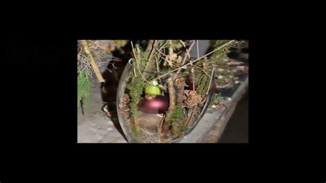 Line Maxy By Amaryllis amaryllis im glas