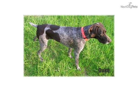german shorthaired pointer puppies for sale oregon german shorthaired pointer puppy for sale near eugene oregon 5d88e6b7 d581