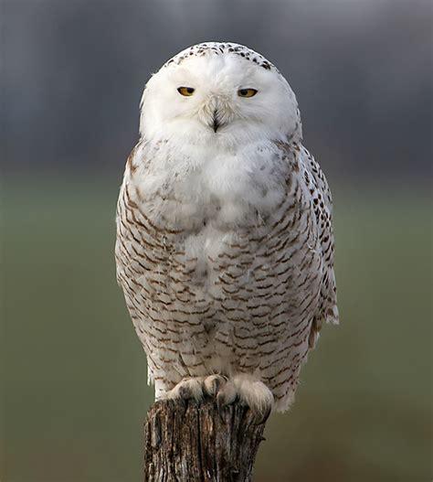snowy owl owlkingdom