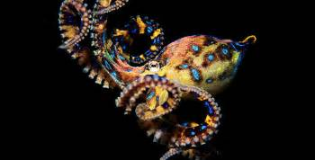 colorful octopus sq intelligent invertebrate the octopus