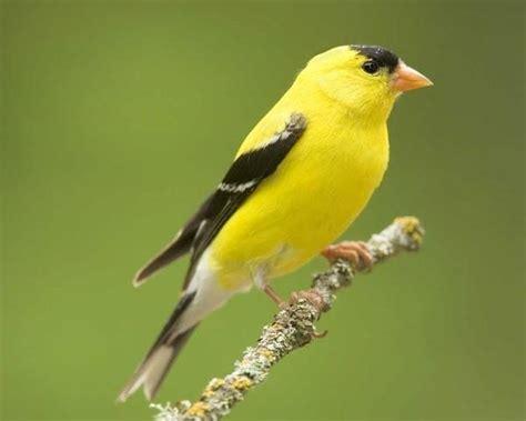 la gabbia annunci sm cardellini in vendita uccelli autoctoni consigli per