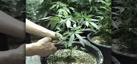Marijuana Growing Ls by How To Trim Your Small Plant In 10 Days 171 Pharmaceuticals