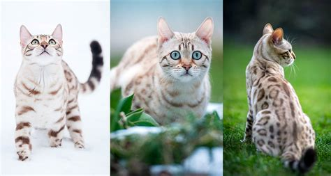bengal cat colors snow bengal cat infos history and appearance bengalcats co