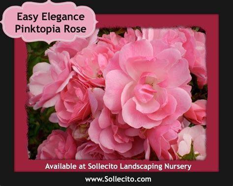 easy eloquence easy elegance pinktopia shrubs in bloom in