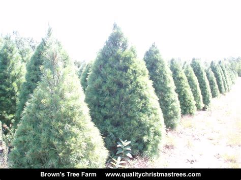 buy real christmas tree online