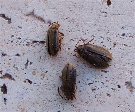 coleotteri in casa coleotteri infestanti forum natura mediterraneo forum