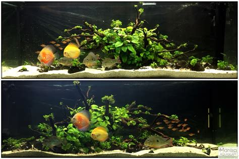 Plants Low Light by Cichlid Forum Geophagus Winemilleri Amp Discus Planted Tank