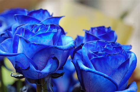 Imagenes De Flores Azules | image gallery imagenes rosas azules